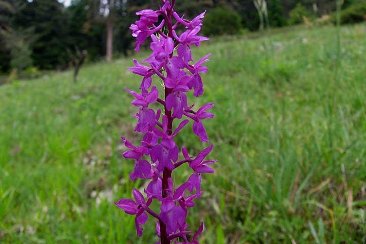 Salep Orkidesi